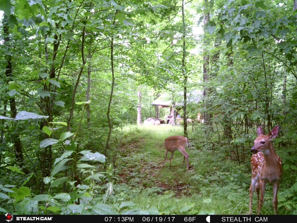 Your closest neighbor - deer in the woods.
